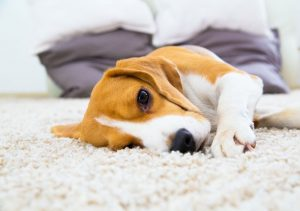 Carpet Cleaner Leeds carpet with pet before deep carpet clean at home in Holbeck.jpg